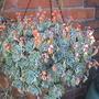 different hanging basket (Echeveria)