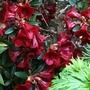 Azalea (Deep Red) (Azalea)