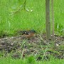 Chaffinch_003