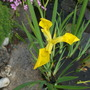 Iris Danfordiae (Iris danfordiae (Iris))