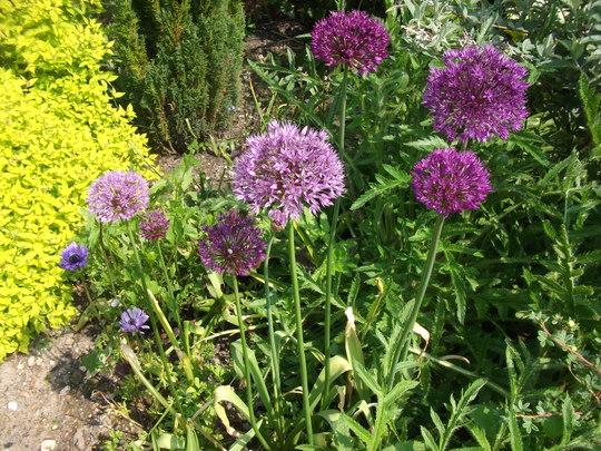 Allium aflatunense 'Purple Sensation' (Allium  Aflatunense)