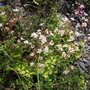 London Pride, Saxifraga x urbium, (Saxifraga umbrosa (London Pride))