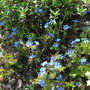 Lithodora_diffusa_star_