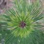 Pinus_densiflora_occulis_draconis
