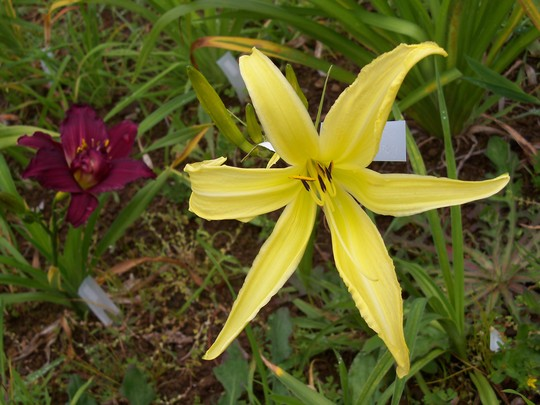 Daylily cross - Cat's Cradle X Candy Cane Dreams