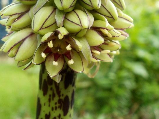 Eucomis Bicolor.... (eucomis bicolor)