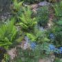 ferns and Brunnera