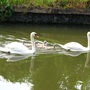 Seven swans a-swimming!