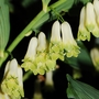 Polygonatum multiflorum (Polygonatum)