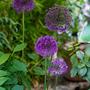 Purplesensation