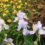 Geums, Iris and Physocarpus