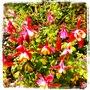 Aquiligia_pink_big