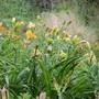 Lots of Daylilies
