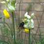 Bee_foraging