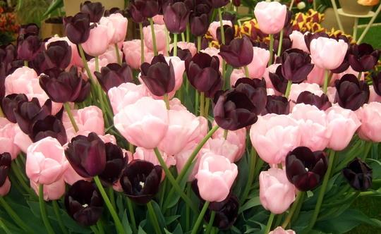 Tulip Pink Diamond & Queen of Night