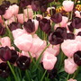 Tulip Pink Diamond & Queen of Night