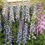 Delphiniums at Chelsea 2012