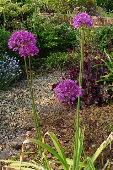 Allium x hollandicum - 2012 (Allium x hollandicum)