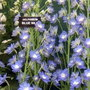 Delphinium Blue Nile
