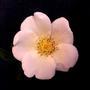 Rosa spinossisima?