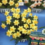 Daffodil Birma