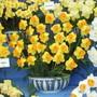 Daffodil Sportsman