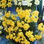 Daffodil Soleil d'Or
