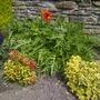 The big poppy  (Papaver orientale (Oriental poppy))