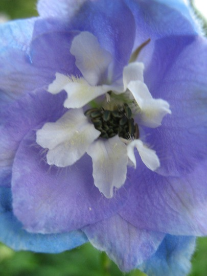 Close up of the White bee..in blue and mauve Guenevere