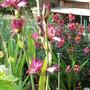 Iris Germanica Crinoline (Iris germanica (Orris))