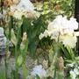 Iris germ. Champagne Elegance. (Iris germanica (Orris))