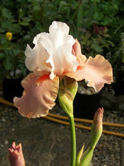 Iris Germanica Sugar Magnolia (Iris germanica (Orris))