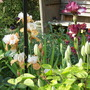 Iris Germanica Blazing Sunrise (Iris germanica (Orris))