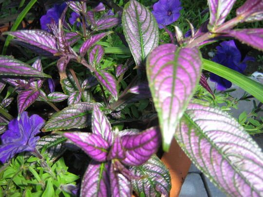 Persian Shield  love these colours... (Strobilanthes dyerianus)