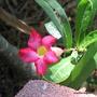 End-of-Autumn Downunder - Adenium obesum or Desert Rose (Adenium obesum (Desert Rose))