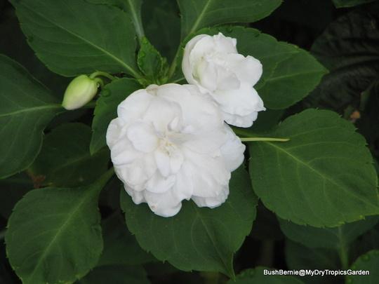 End-of-Autumn Downunder - double white Impatiens walleriana (Impatiens walleriana (Busy Lizzie))