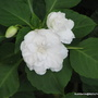 End-of-Autumn Downunder - double white Impatiens walleriana (Impatiens walleriana (Busy Lizzie))