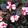 End-of-Autumn Downunder - Impatiens hawkeri or New Guinea Impatiens (Impatiens hawkeri (New Guinea impatiens))