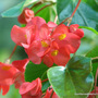 End-of-Autumn Downunder - Dragon Wing Begonia (Begonia x tuberhybrida 'Dragon Wings')