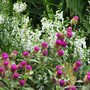 End-of-Autumn Downunder - Gomphrena globosa 'Buddy Purple' and Angelonia angustifolia 'Serena White' (Gomphrena globosa (Globe Amaranth Q Lilac))