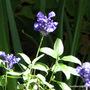 Salvia farinacea (Mealy sage)