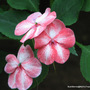 End-of-Autumn Downunder - Impatiens walleriana (Impatiens walleriana (Busy Lizzie))