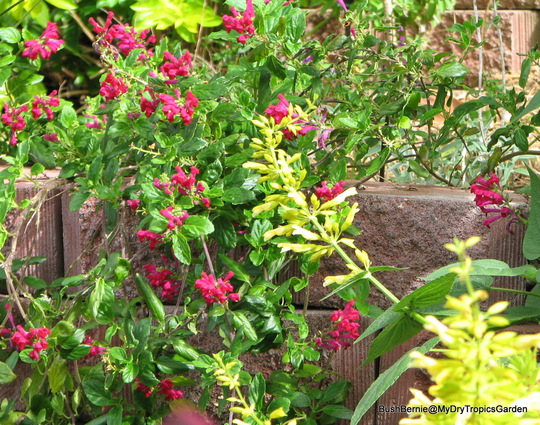 End-of-Autumn Downunder - Salvia madrensis and Scutellaria suffrutescens