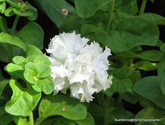 End-of-Autumn Downunder - Petunia double white