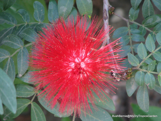 End-of-Autumn Downunder - Calliandra haematocephala (Calliandra Haematocephala)