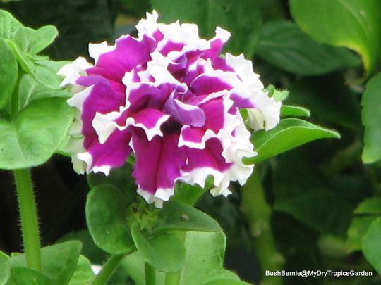 End-of-Autumn Downunder - Petunia