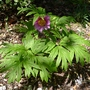 Paeonia cambessedesii - 2012 (Paeonia cambessedesii)