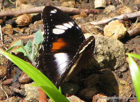 End-of-Autumn Downunder - female Varied Eggfly Butterfly