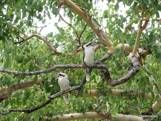 End-of-Autumn Downunder - Kookaburras sitting in an old gum tree