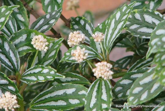 End-of-Autumn Downunder - Pilea cadierei or Aluminium Plant blooms (Pilea cadierei)